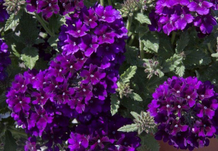 plantas de verano verbena