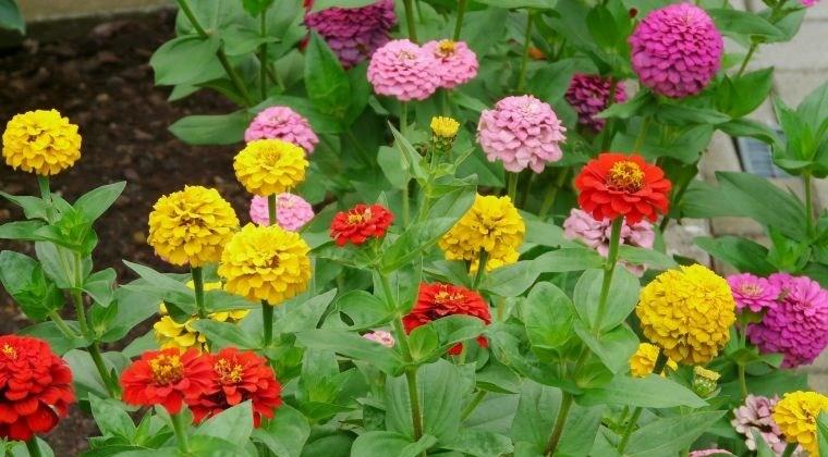 plantas de verano zinnias