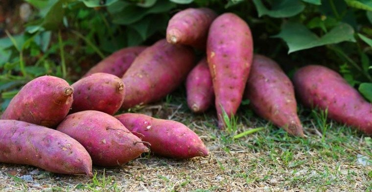 tubérculos saludables batatas