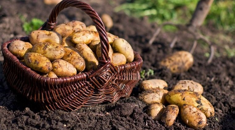 tubérculos saludables patatas