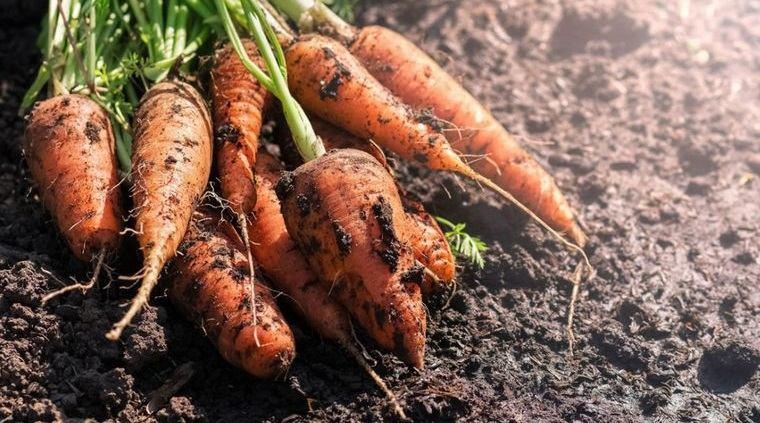 tubérculos saludables zanahorias